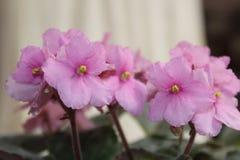Розовый фиолетовый конец цветка вверх Стоковая Фотография