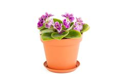 розовый фиолет Цветок комнаты в цветочном горшке Стоковые Изображения