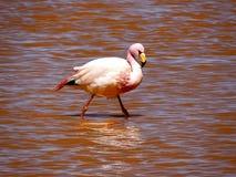 Розовый фламинго от Боливии Стоковые Фотографии RF