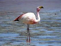 Розовый фламинго от Чили стоковое изображение rf