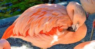 Розовый фламинго прихорашиваясь пер на Sunken садах Стоковое фото RF