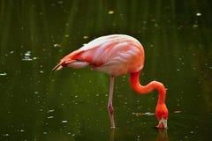 Розовый фламинго в воде Стоковое Изображение