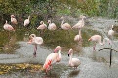 Розовый фламинго в ливне Стоковые Фото