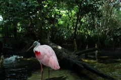 Розовый фламинго в Forrests Флориды Стоковое Изображение RF