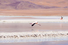 Розовый фламинго летая над озером соли на боливийских Андах Стоковое фото RF