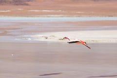 Розовый фламинго летая над озером соли на боливийских Андах Стоковые Фото
