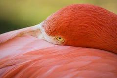 Розовый фламинго на зеленой предпосылке Стоковые Изображения RF