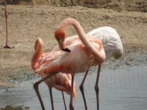 Розовый фламинго стоковое фото rf