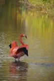 Розовый фламинго Стоковые Изображения RF