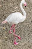 Розовый фламинго стоковые изображения