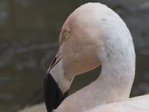 Розовый фламинго Стоковая Фотография