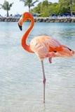 Розовый фламинго Стоковые Фото