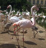 Розовый фламинго Стоковое Изображение RF