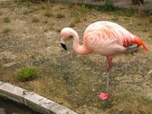 Розовый фламинго Стоковое Фото
