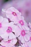 Розовый флокс Стоковое Изображение