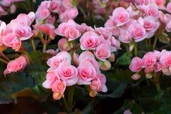 Розовый цветок бегонии Стоковые Изображения RF