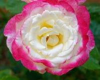 Розовый цветок белой розы в саде стоковое фото