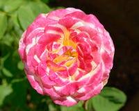 Розовый цветок белой розы в саде стоковая фотография