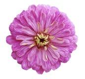 Розовый цветок, белизна изолировал предпосылку с путем клиппирования Крупный план отсутствие теней Стоковые Изображения RF