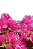 Розовый цветок бугинвилии Стоковые Фотографии RF