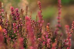 Розовый цветок вереска Стоковые Фотографии RF