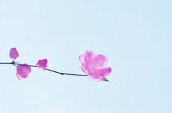 Розовый цветок вишневого цвета Стоковая Фотография