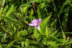 Розовый цветок вьюнка Стоковые Фотографии RF