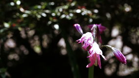 Розовый цветок в ботаническом саде сток-видео