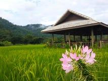Розовый цветок в поле риса стоковые изображения