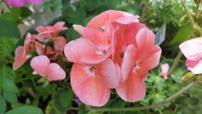 розовый цветок в природе стоковая фотография rf