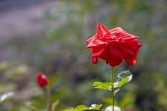 Розовый цветок в саде после полудня Стоковое Изображение RF