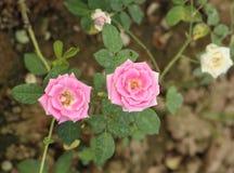 Розовый цветок в саде Стоковые Фото