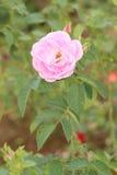 Розовый цветок в саде Стоковые Изображения RF