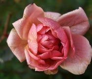 Розовый цветок в саде Стоковая Фотография