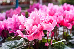 Розовый цветок в саде Стоковое Изображение