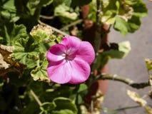 Розовый цветок в солнечности утра стоковые фото