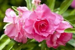 Розовый цветок в цветени стоковое изображение