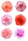 Розовый цветок гвоздики Стоковое Изображение RF