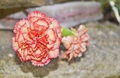 Розовый цветок гвоздики Стоковые Изображения