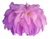 Розовый цветок георгина, белая предпосылка изолированная с путем клиппирования closeup без теней Для конструкции Взгляд со сторон Стоковое Изображение RF