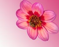 Розовый цветок георгина изолированный на белой предпосылке, конструированной как столб стоковые фотографии rf