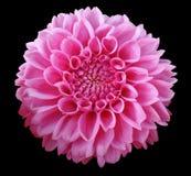 Розовый цветок георгина, черная предпосылка изолированная с путем клиппирования closeup Стоковая Фотография RF