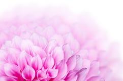 Розовый цветок георгина Стоковые Изображения