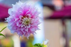 Розовый цветок георгина Стоковые Изображения RF