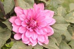 Розовый цветок георгина стоковые фотографии rf