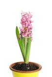 Розовый цветок гиацинта в баке Стоковое Фото