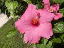 розовый цветок гибискуса и зеленые лист Стоковое Изображение