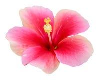 Розовый цветок гибискуса стоковое фото rf