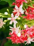 Розовый цветок зацветая с нерезкостью движения и зеленой предпосылкой Стоковое Изображение