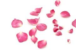 Розовый цветок изолированный на белизне Стоковые Изображения